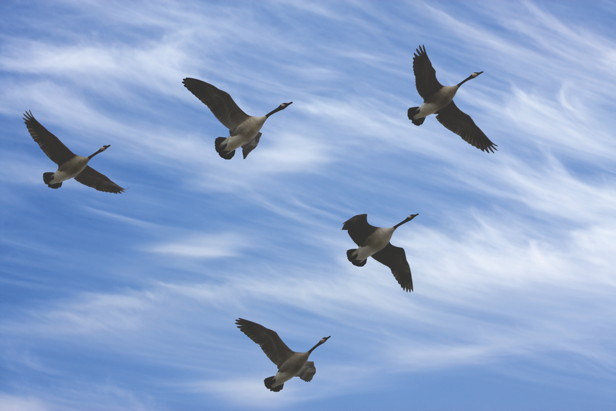 geese-v formation